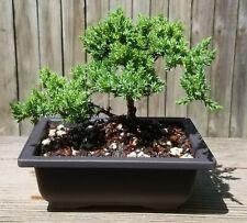 Japanese Juniper Bonsai Tree in 6x4 plastic pot