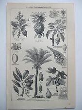 stampa antica old print PIANTA DA DATTERI ANANAS - GERMANY 1923
