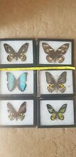 More details for 6 large butterflys - in frame - real - taxidermy -