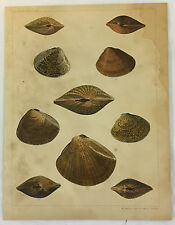 1856 Lithograph US Japan Expedition CONCHOLOGY Plate II Conch Shells