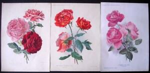 4 Antique 1897 - ft1905 Amateur Gardening prints of Roses, 1 by J Finnemore