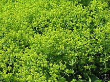 10 Stück Frauenmantel Alchemilla mollis Flächendecker Sommerblüher