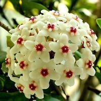 300Samen wunderschöne Porzellanblume Wachsblume Samen Hoya freie-Farbwahl b W0D3