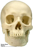 Human Skull Replica Life Size Quality Made in USA Silver Metallic Chrome Color