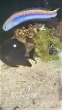 Oreni Tilefish World's Rarest Fish
