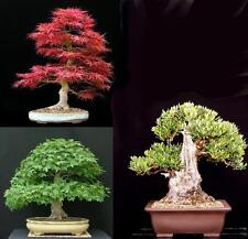 SEMI BONSAI - OLIVO - ACERO GIAPPONESE - ACERO TRIDENTE - BONSAI SEEDS
