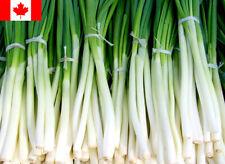 50 Seeds - Kincho Onion (Allium cepa) Seeds - Free Shipping