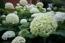Hydrangea Arborescens 'Annabelle' in 2L Pot, Stunning Large Flower Heads