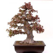 Bonsaï - Grand Plus Épais Acer buergerianum Tricorne Maple en Japon 185/93