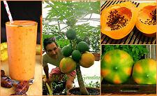 """SEEDS - Dwarf """"Coorg Honey Dew"""" Papaya Tree - Easy Grow indoor/outdoor in a pot!"""