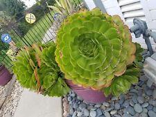 Succulents plants Aeonium Arboreum, gigantic cuttings, with roots hormones