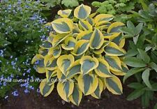 AUTUMN FROST HOSTA frosty blue green with yellow margin