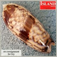 BIG GEM! Oliva miniacea saturata 77.8mm GORGEOUS BEAUTY from the Philippines