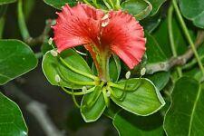 Anyanou aligna quanzensis-belle pod acajou-très inhabituel fresh seeds
