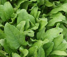 SPINACH HYBRID 7 Spinacia Oleracea - 1,000 Bulk Seeds