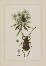 Coccinelle breitrüßler breitrüssler Coléoptère Anthribidae Insecte impression couleur 1959