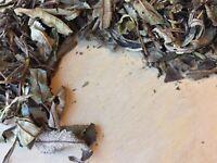 Yerba Santa Leaf, Eriodictyon californicum WILD CRAFTED ~ Schmerbals Herbals