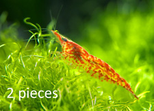 2x Red Cherry Shrimp breeding group For fish tank 1-1.5cm FREE COLLECTION