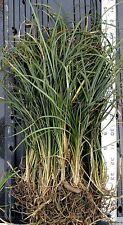 Standard MONDO GRASS -- 50 bare-root starts -- Border Plant -- Groundcover