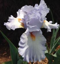 Tall Bearded Iris Princess Caroline de Monaco Blue Plant Rhizome Perennial