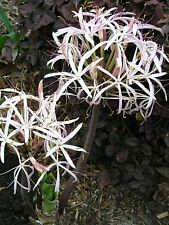 Crinum Lily, Ligulatum (species), Large, blooming-size bulb, NEW, very unusual