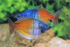 Boesmani Rainbow Rainbowfish Live Fish Aquarium Tank Tropical Fish Aquatics UK