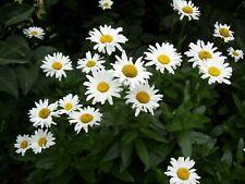 Blumensamen Set (7): 5 Stauden im Weià aus eigenem BIO-Garten