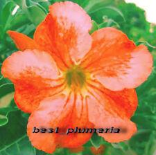 "NEW! Adenium Obesum Desert Rose"" Windmill_Orange "" Fresh 100 Seeds"