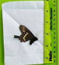 Lot of 10 Alpine Black Swallowtail Papilio maackii maackii Male Spring Papered