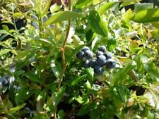 Bush/Shrub Cold Fruit Plants