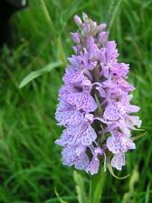 "Common Spotted ORCHID ~Shell-Pink ~ ""DACTYLORHIZA FUCHSII"" 25- Seeds"