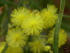 Flinders Range Wattle Seeds Drought & Frost Resistant Evergreen Small Tree/Hedge