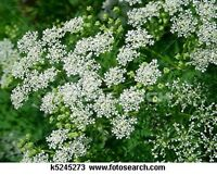 Queen Anne's Lace- 500 Seeds- BOGO 50% off SALE