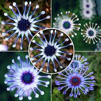 50PCs Rare Blue Daisy Plants Flower Seeds Exotic Ornamental Flowers Garden Decor