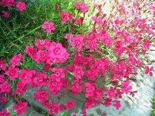 MAIDEN PINK - Dianthus Deltoides - 3200 seeds PERENNIAL FLOWER