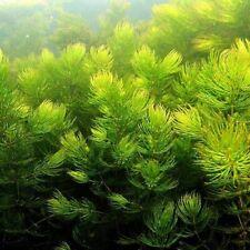 Ceratophyllum Demersum ! PIANTA PIANTE ACQUARIO LAGHETTO