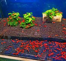 10 x neocaridina Red Cherry Freshwater Easy aquarium shrimp size approx 1,5 cm