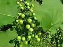 Rare Solanum torvum ,turkey berry,wild eggplant, pea eggplant - 300 Seeds pack
