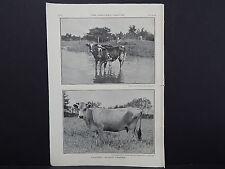 The Breeder's Gazette, Nov. 28, 1906, Photographic Print #05 Cow, Island Charms