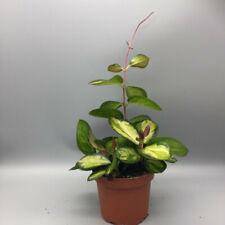 Hoya australis lisa  wax house plant 12cm pot, 25-30cm height