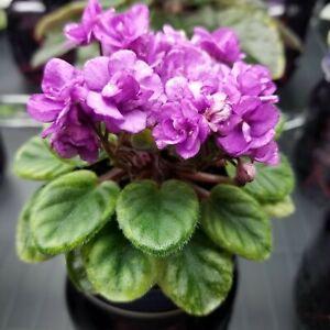 Midget Memories Miniature African Violet Starter Plant