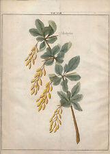 1763 Johann H Knoops Fructologia engraving Berberissen berberis