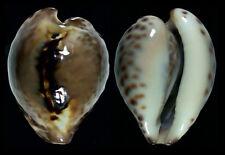 "7526 Barycypraea teulerei - 39,8 mm - f+++/GEM - Oman - NEW ""SECRET"" POPULATION!"