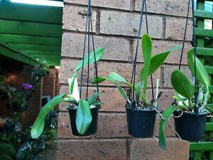 Cattleya Orchid Rlc. California Queen 'Red Angel' near flowering size, 80mm pot