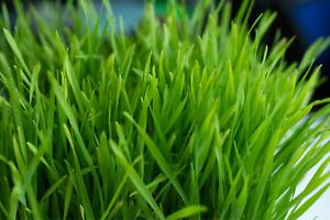 Wheatgrass Seeds - Microgreens Seeds Micro Wheatgrass x 600 seeds