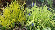 BOWLES GOLDEN EVERGREEN ONRAMENTAL GRASS SEED FREE P&P