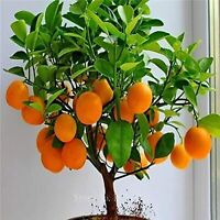 Bonsai Orange Tree Seeds, 20 Seeds ,Grow a Delicious Fruit Bearing Bonsai Tree -