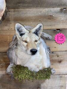 Wyoming Coyote Mount/hunting/taxidermy/fur/western/decor/animals/man cave Fun
