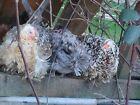 6+ silkie frizzle bantam chicken Hatching Eggs