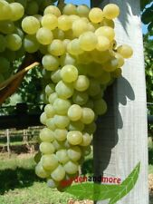 gelbe Weintraube Phönix lecker robust frosthart 120-140